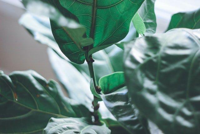 potting mix soil nutrients for fiddle leaf fig