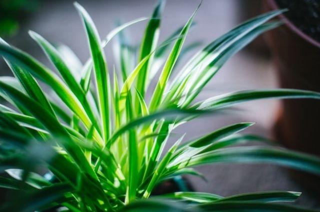airplane plant, St. Bernard's lily, spider ivy