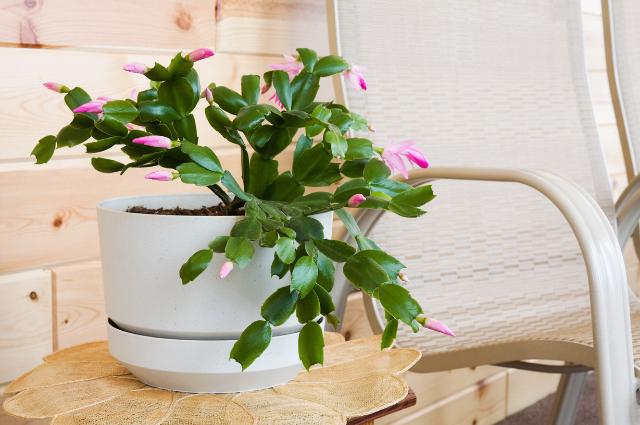 Planter for Schlumbergera