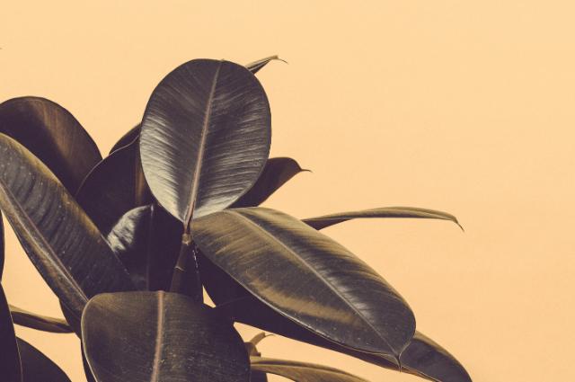 Ficus elastica potting medium Soil For Rubber Plant