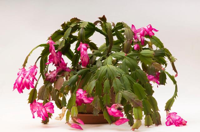 Planter for Schlumbergera Pot for Christmas Cactus