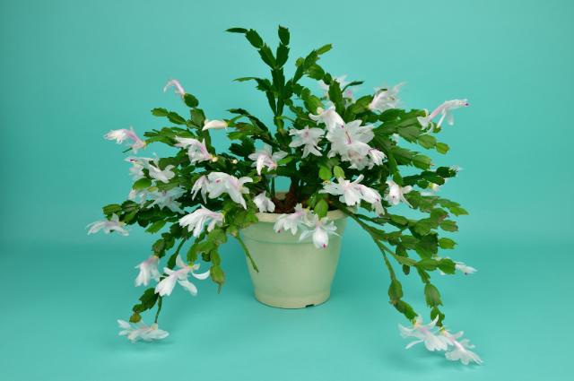 Pot for Christmas Cactus