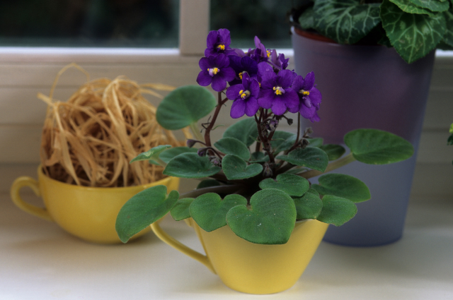 Container for African violets