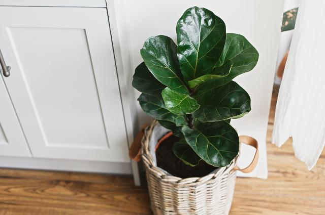 Pot for fiddle leaf fig Planter for Ficus Lyrata