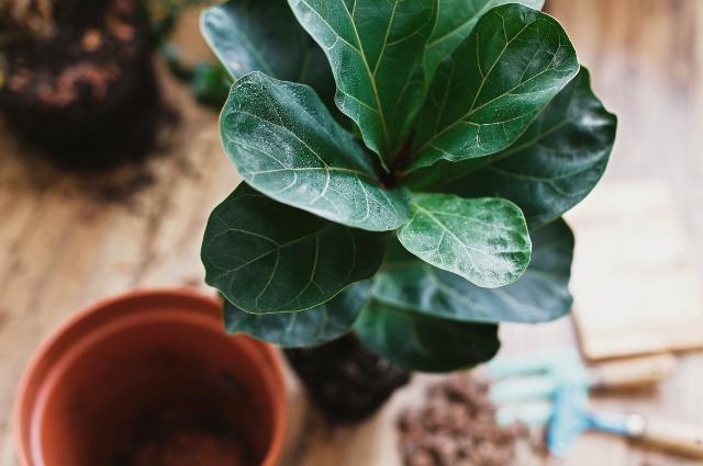 Pot For Fiddle Leaf Fig