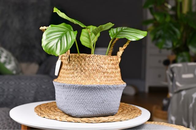 Pot For Prayer Plant