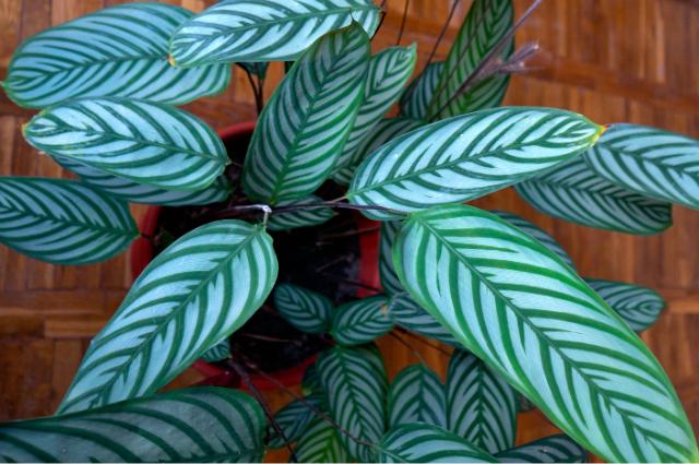 Planter for Maranta Leuconeura