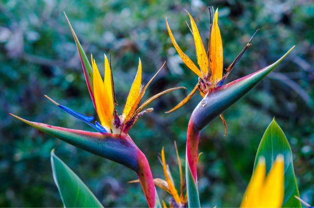 Soil for bird of paradise