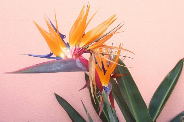 Soil for bird of paradise Strelitzia Reginae flowers potting mix