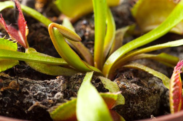 Potting mix for Dionaea Muscipula