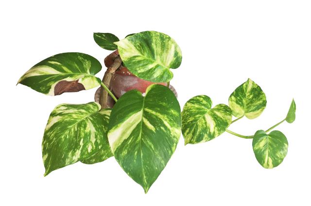 Epipremnum aureum planting medium