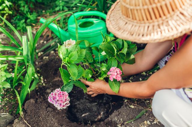 Soil for Hydrangeas