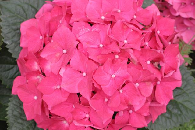 Planting medium for Hortensia flowers