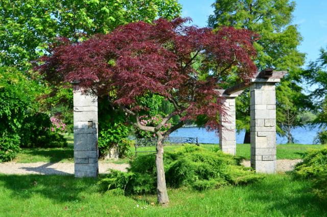 Planting medium for Acer palmatum