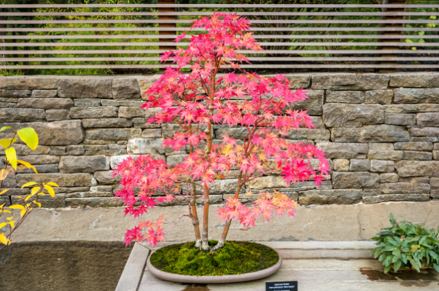 Soil for Japanese Maple